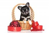 stock photo of chiwawa  - Chihuahua puppy in wicker basket against white background - JPG