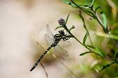 picture of flying-insect  - dragonfly on a bush  a flying insect - JPG