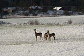 image of deer family  - family of roe deer on a wintery meadow