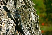 picture of mayfly  - Dragonfly on the tree - close up view