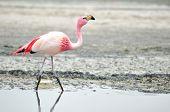 image of eduardo avaroa  - Flamingo at smelly lagoon Eduardo Avaroa National Reserve Departamento de Potosi (Potosi Department) Bolivia - JPG