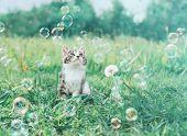 picture of meadows  - Cute little kitten looking at soap bubbles on summer meadow - JPG