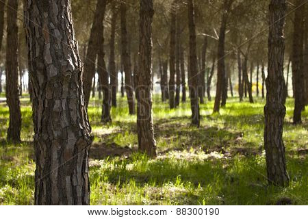 Pine Forest At Donana National Park