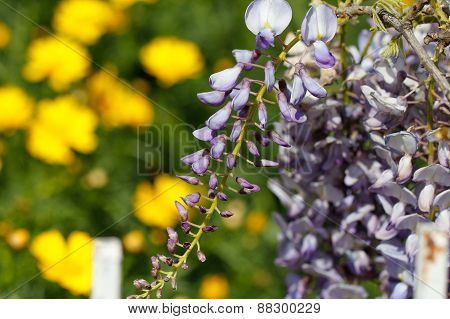 Purple wisteria flowers in spring.