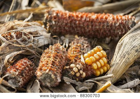 Corn on the cob gnawed by animals.