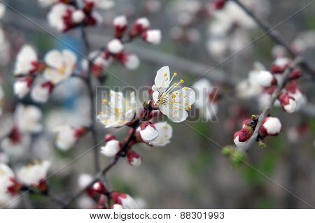 Spring Cherry blossoms, pink flowers. Flowers of the cherry blossoms on a spring day