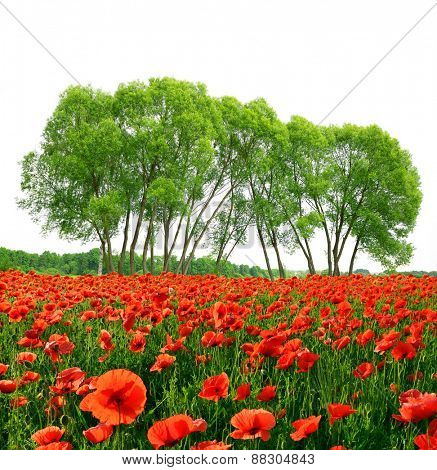 Red poppy field with trees on white background. Spring landscape.