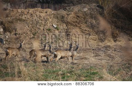 Small Herd Of Roe Deer