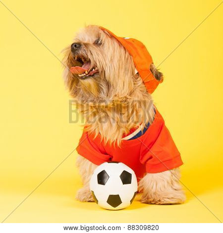 Dutch dog in orange as soccer player looking up