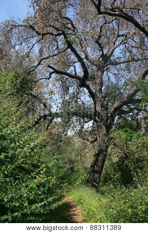 Oak tree on a grassy hill side, California