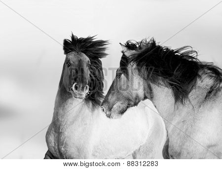 Two Wild Horses Monochrome Portrait