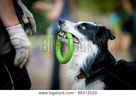 Border Collie With The Ring Watching To Owner