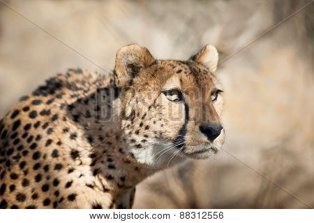 Cheetah Portrait Sneaking