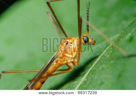 Orange Crane Fly On A Green Leaf