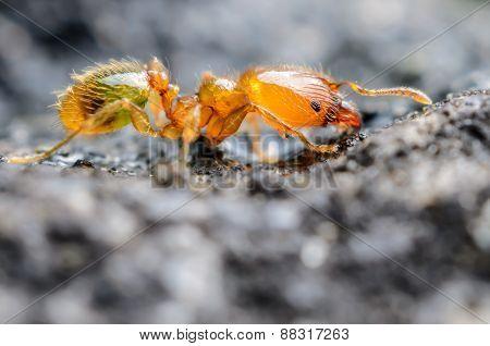 Tiny Orange/golden Ant