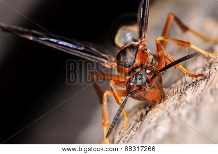 Red Paper Wasp Gathering Wood For It's Nest