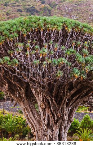 Famous Millennial Dragon Tree of Icod de los Vinos in Tenerife - Canary Islands Spain