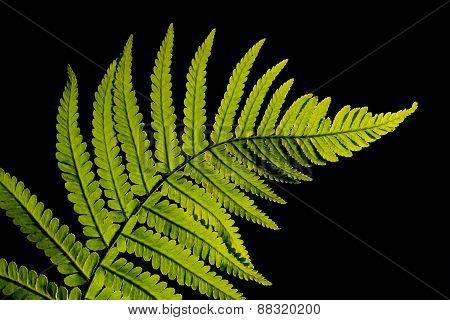 studio shot of a green fern