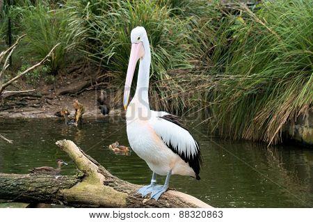 Pelican on a log