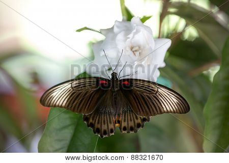 beautiful butterfly feeding with open wings