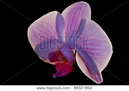 detail of a pink orchid flower, photo studio