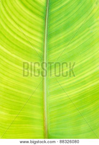 Green Banana Leaf Background