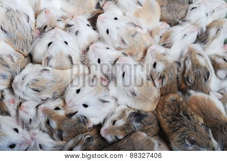 Many Hamsters Top View