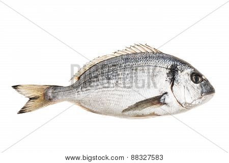 Gilt head Bream isolated on white