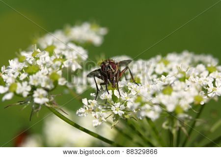Fly On The White Flower