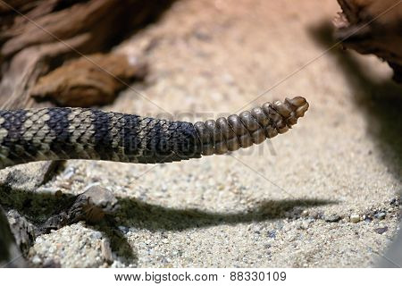 Rattle Of The Eastern Diamondback Rattlesnake