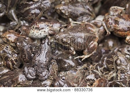 Crowd of small brown frogs