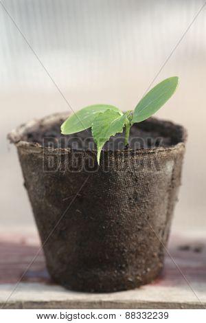 Germ Cucumber In Peat Pots