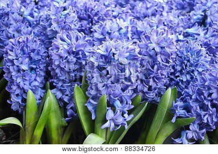 Violet flowers, Hyacinth flowes