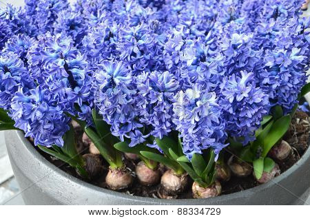 Violet flowers.hyacinth.