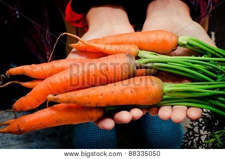 Hands holding raw fresh carrots