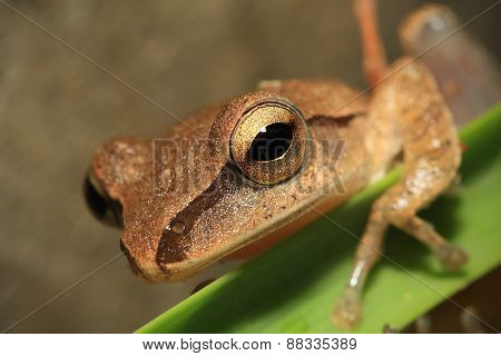 Closeup Of Frog Head,focus On Eye