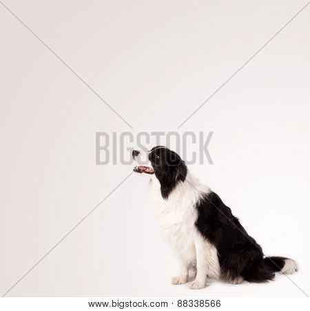Cute black and white border collie with empty space