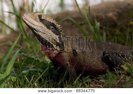 Water Dragon in the grass.