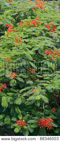Flame Tree Royal Poinciana Foliage And Flowers As Natural Background.