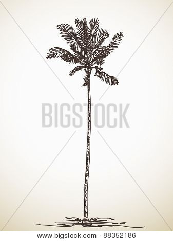Sketch of palm tree, Hand drawn illustration, Vector