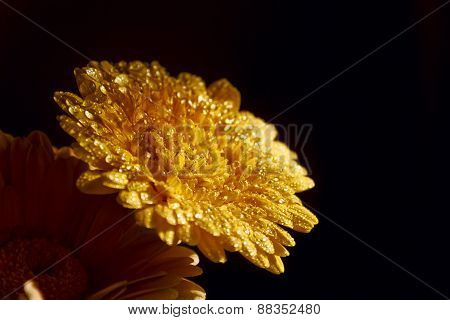 Yellow Gerbera With Water Drops