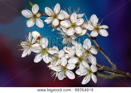 Prunus spinosa flowers