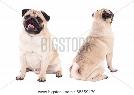 Front And Back View Of Friendly Pug Dog Sitting Isolated On White