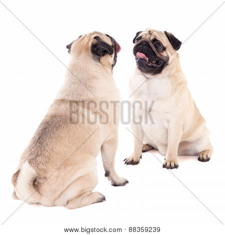 Love Concept - Two Friendly Pug Dogs Sitting Isolated On White