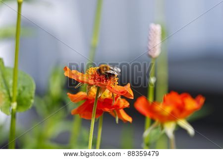 Bumble bee on a orange flower.