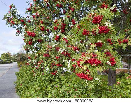 Urban Street, red rowan-berries in the town.