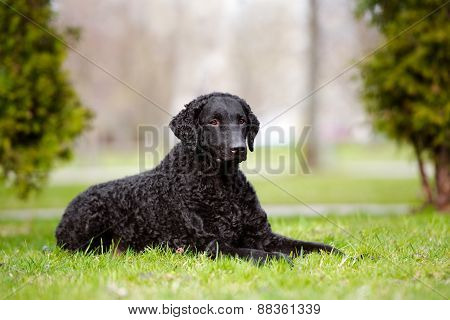 black curly coated retriever dog outdoors in spring