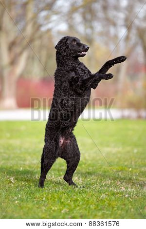 active curly coated retriever dog