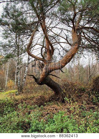 Ugly Pine Tree