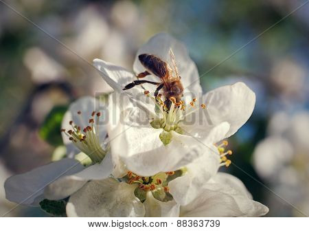 bee on spring cherry blossom